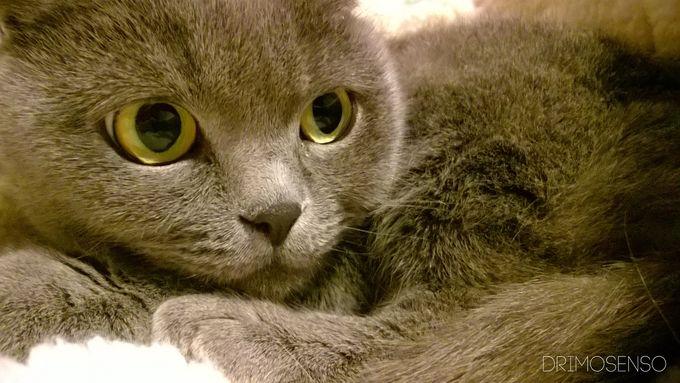 Justa photo cute kitten Scottish Fold - Album on Imgur