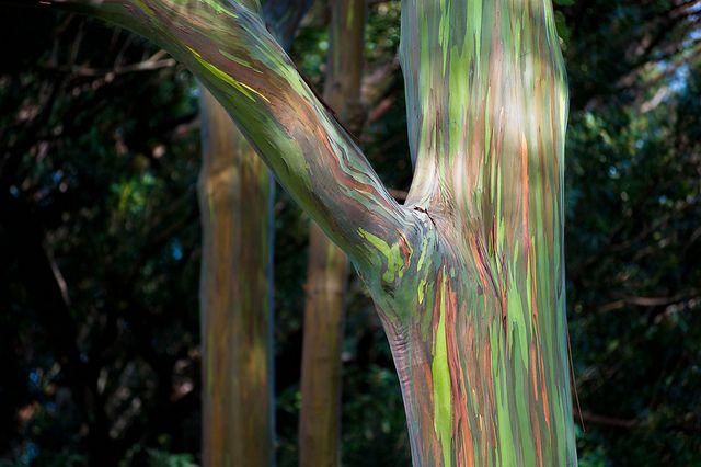Best 25+ Rainbow Eucalyptus Tree Ideas On Pinterest