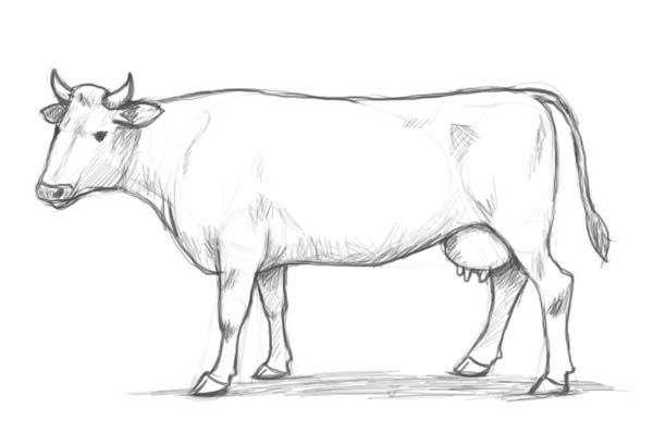 learn how to draw a cow step by step with this new