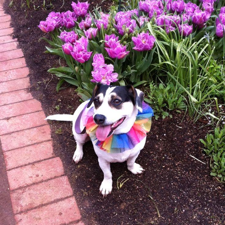 Love this happy little doggy taken @ Tesselaars Tulip Festival Silvan Victoria #tesselaars