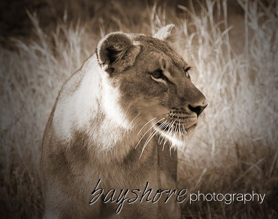 A lioness keeps a watchful eye in tall grass in Botswana as the early morning sun shines down. by Bayshore Photography @bayshorephoto