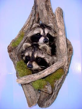 mounted raccoon taxidermy for sale