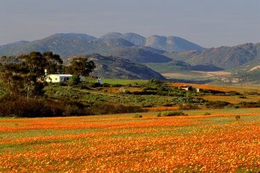 Kamieskroon, Northern Cape - wild flowers