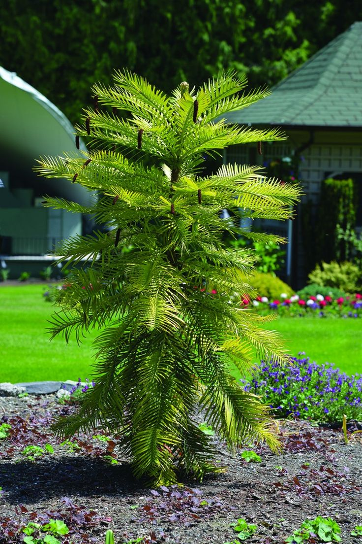 Wollemia nobilis (Wollemi PIne) #trees #butchart #butchartgardens