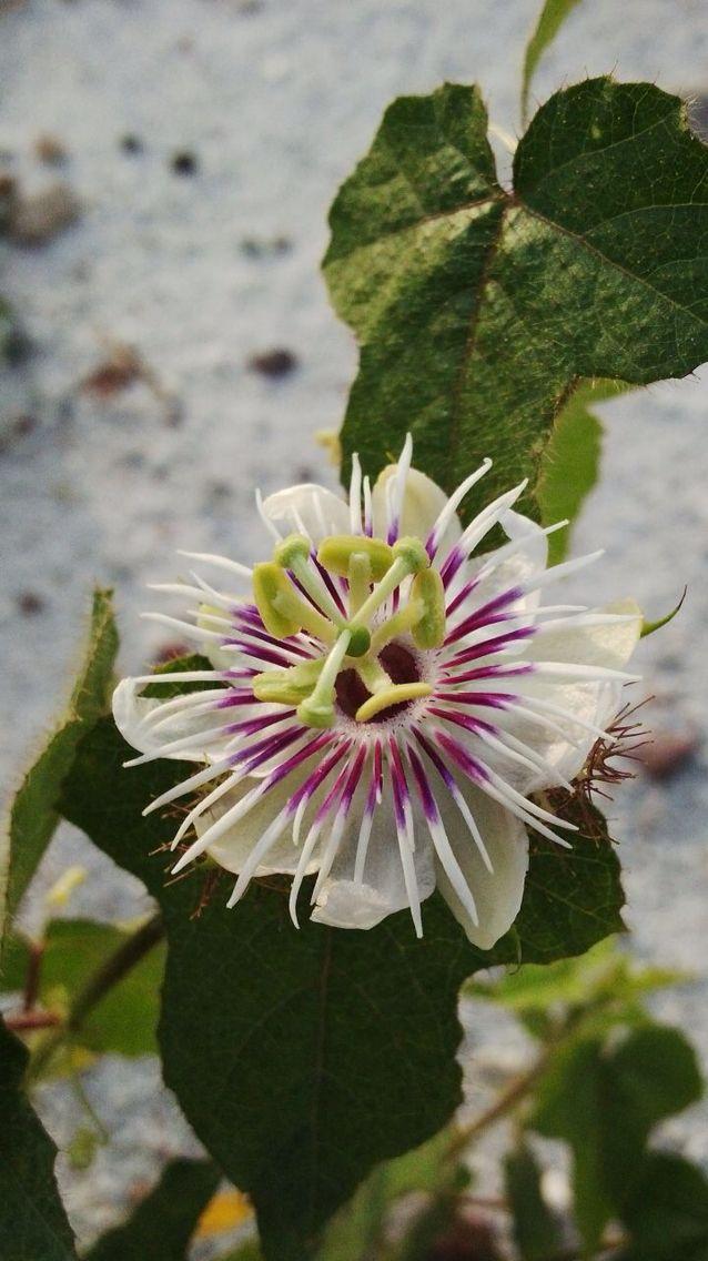 belitung flower. bunga liar