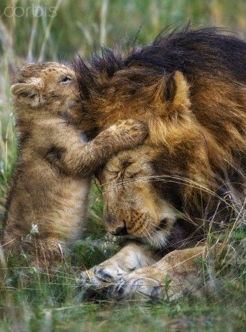 Kenya, Masai Mara, Narok County. A ten week old lion cub playing with one of the two pride males in the early morning.