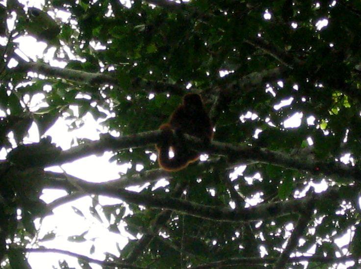 Mono Aullador Rojo (Alouatta seniculus)
