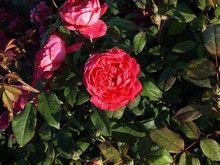 Rose Benjamin Britten (engelsk rose)