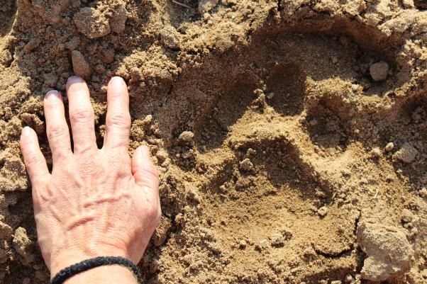 Lion tracks in the river bed.