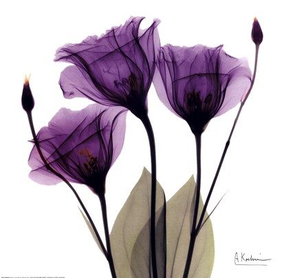 X-ray Royal Purple Gentian Fine-Art Print by Albert Koetsier at UrbanLoftArt.com