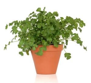 Grow Cilantro Indoors  Give it space. Plant cilantro seeds in a container at least 8 in (20 cm) deep. It hates to be repotted. Use a pot with a drainage hole and well-drained potting mix to prevent overwatering, which can cause root rot.    For the best flavor growing cilantro needs plenty of sun: a sunny spot on a windowsill    WATER REGULARLY