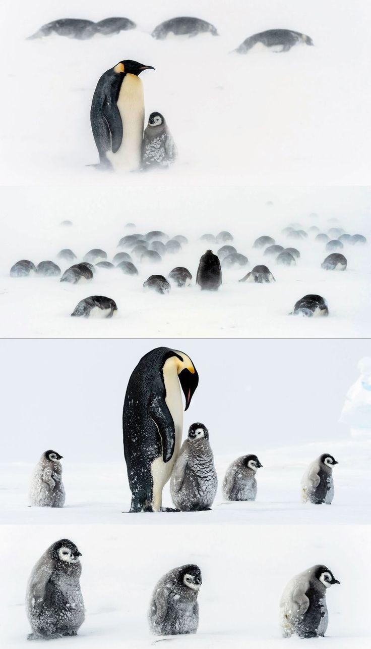 Afin de les protéger du froid et d'une tempête, les manchots empereurs se resserrent autour des petits, encore trop fragiles pour endurer les températures négatives. Des images touchantes, prises en Antarctique parmi une colonie de quelques 300 manchots.