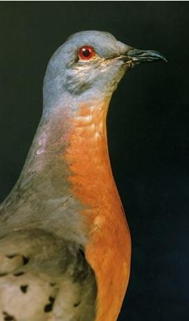 There is a genuine effort underway to bring back the extinct Passenger Pigeon!!