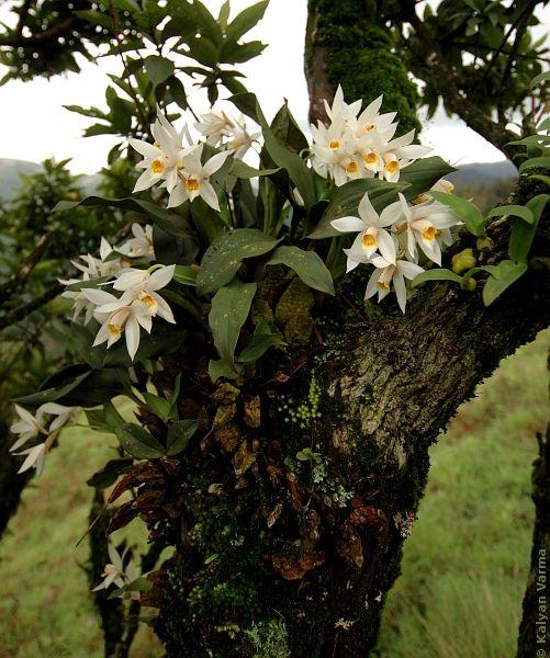 wild orchids | Wild Orchids - Habitat