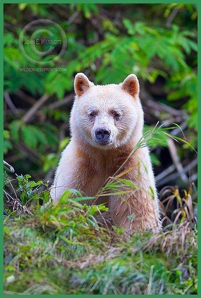 Kermode Bear | c4fa10424d387dea1ae48c4d99a68a13.jpg