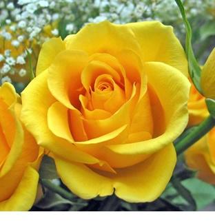 Muda De Rosas Enxertadas R$23,00
