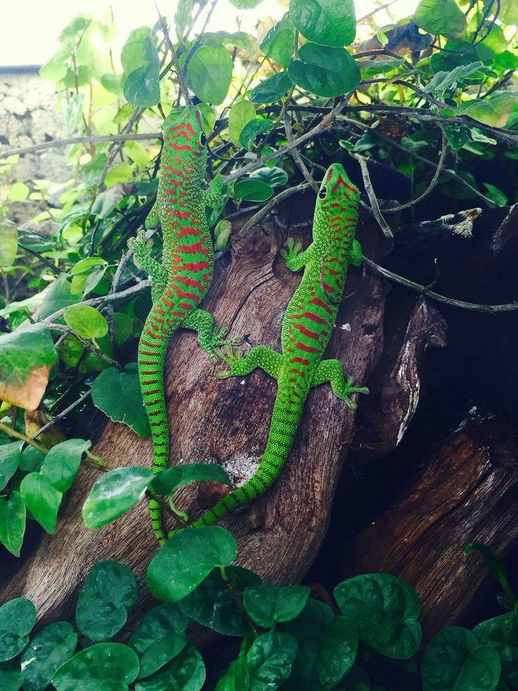 Madagascar Giant Day Gecko Phelsuma Grandis Geckos Pinterest Madagascar Red And Geckos