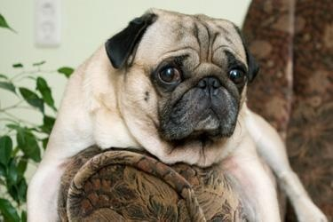 "The pug breed began as guard dogs in ancient Chinese temples.    The pug has been referred to as ""Multo in Parvo,"" which means ""a lot of dog in a small space."" In their little bodies, pugs pack a lot of love and boundless enthusiasm. This small, affectionate oriental breed began as guard dogs in ancient China."