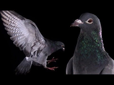 Excellent footage of a pigeon flying away