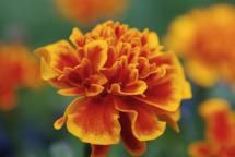 Names of Common Flowers in Mandarin Chinese: Marigold