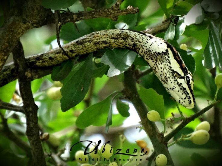 I was always told how good the camouflage was on the Vine Snake but I had no Idea until I saw it for myself