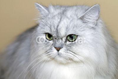 Portrait de chat persan gris