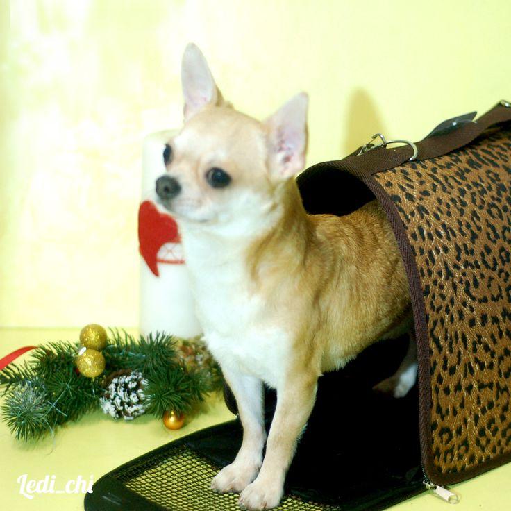 В продаже щенок чихуахуа рыжий ♦️Породный, выставочный экземпляр. ♦️Правильный формат. ♦️Окрас рыжий ♦️03.02.2016 г.р. ♦️Без недостатков Выставочная карьера:  BOB BABY