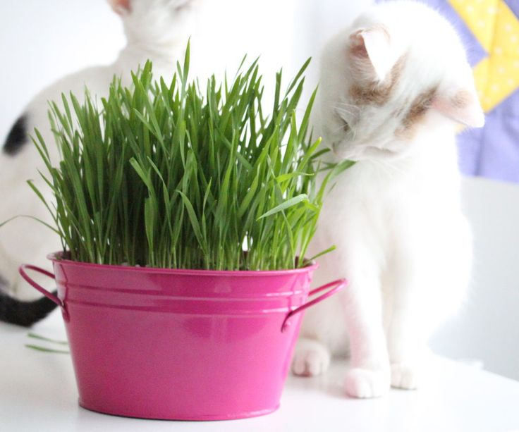 Growing cat grass via Instructables