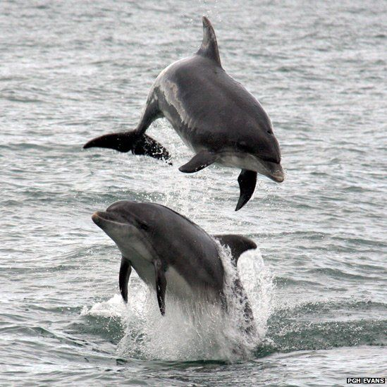 Dolphins leaping from the water - Cardigan Bay, Ceredigion, Wales
