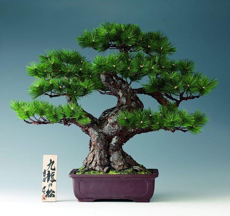 Resultado de imagen para bonsai japones