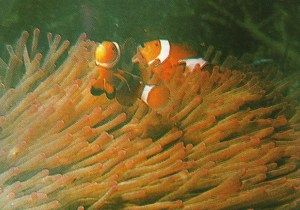 seawater fish symbiosis - simbiosis ikan badut dan anemon laut