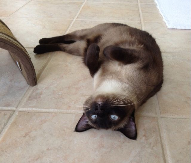 Heated tiles in the cat room keep even the pickiest cats happy.  Here is my 7 year old rescued siamese enjoying the warm tiles.