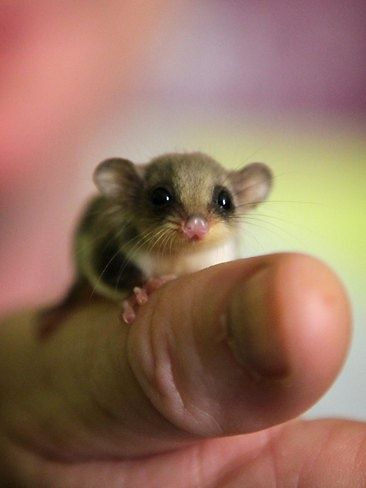 Adorable little critter. Looks like it might be a sugar glider.