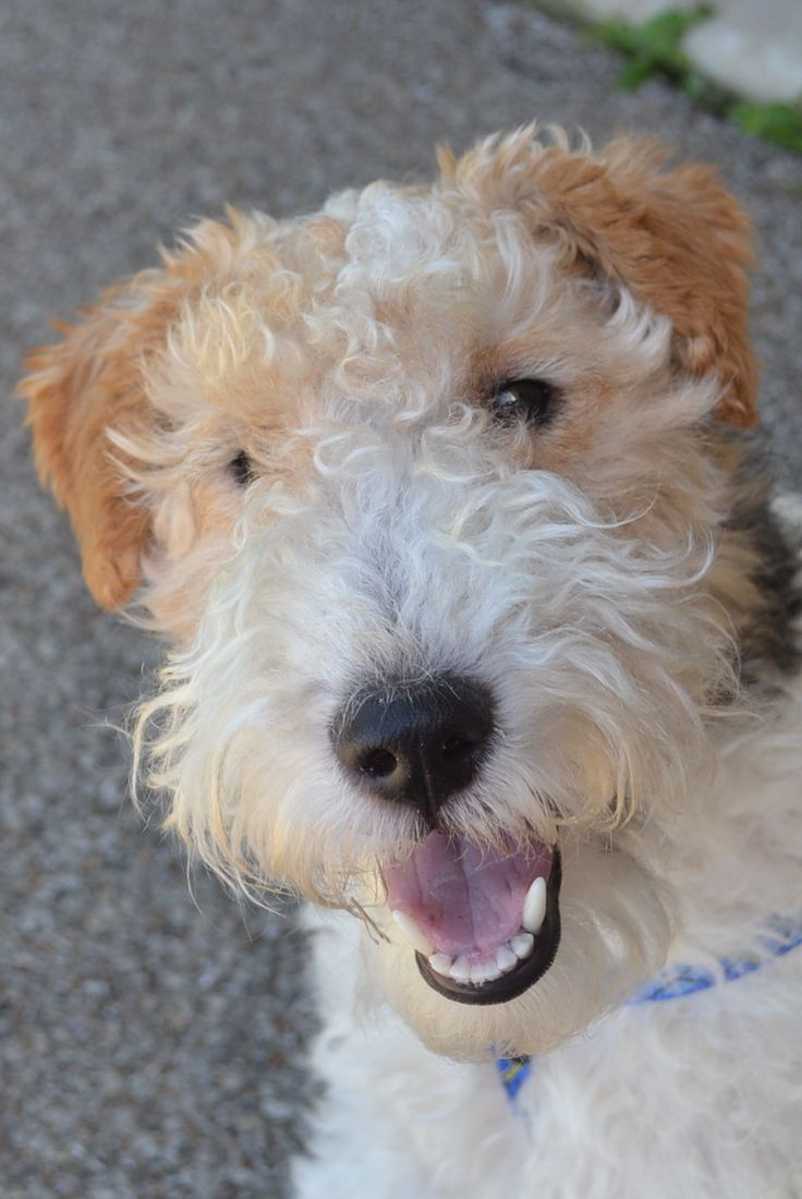 """Or you could always get yourself an ordinary dog instead........ I have renamed mine """"Wild Fox Terriers."""" No better dog anywhere!"""