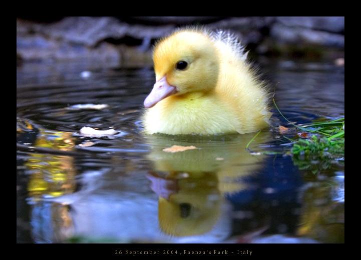Very little duck by ~haeresis