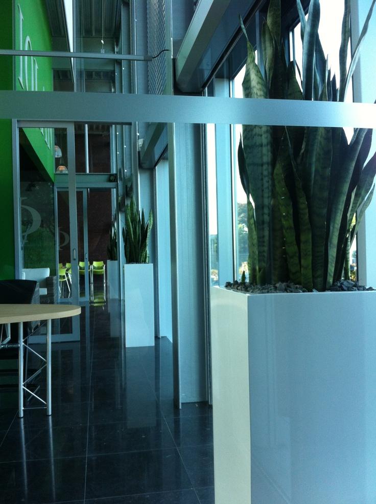 Sansevieria in hoogglans witte plantenbakken!