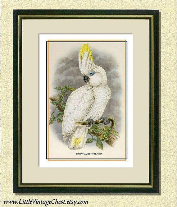 BLUE EYED COCKATOO  Antique Bird Art Print by littlevintagechest, $7.00