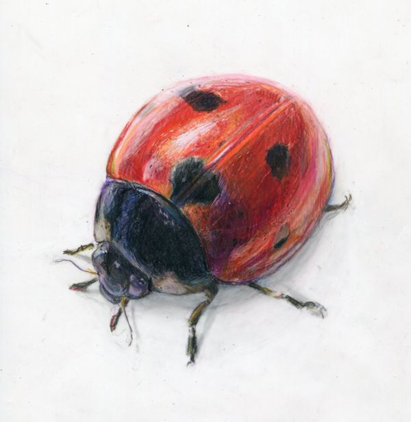 Watercolor ladybugs | Alexis Demetriades Science Illustration: Ladybug on Duralene