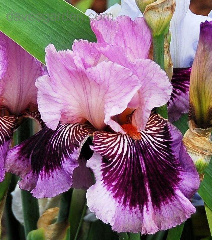 Tall Bearded Iris 'Plum Pretty Whiskers' (Iris )