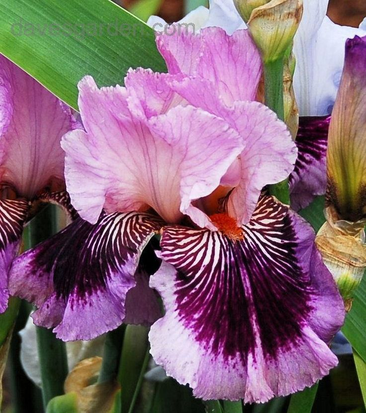 Tall Bearded Iris 'Plum Pretty Whiskers' (Iris )