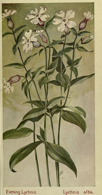Lychnis alba I Field book of American wild flowers I 1912 I Margaret Armstrong