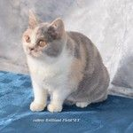 британские кошки и котята Cattery Brilliant Field*BY