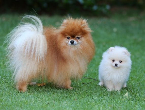 Big brother, small brother pomeranians, Chip & Charly
