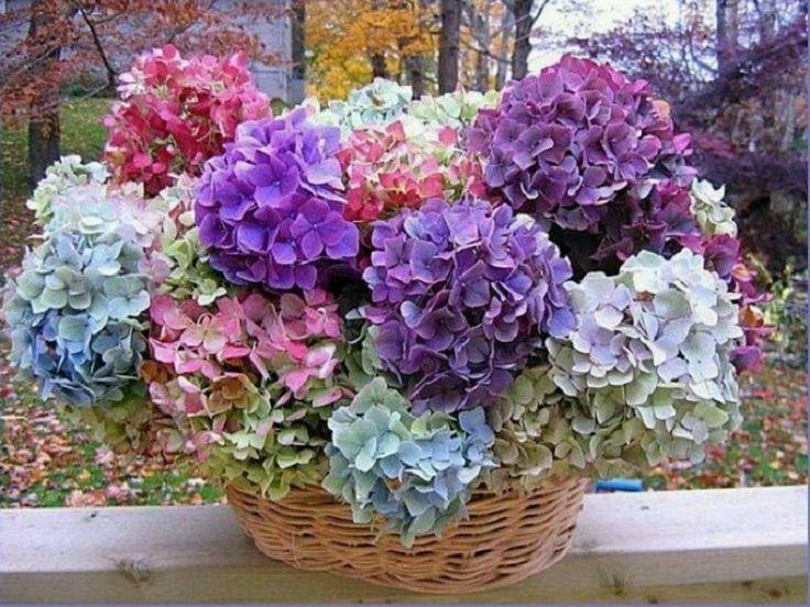 M s de 1000 ideas sobre hortensias en pinterest - Hortensias cuidados poda ...