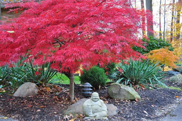 Japanese garden with  Acer palmatum var. dissectum  'Inaba shidare' - red foliage, evergreens ,Yucca  and Acer  palmatum var. dissectum  ...