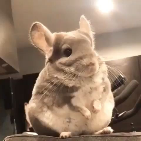 Cute & fluffy chinchilla