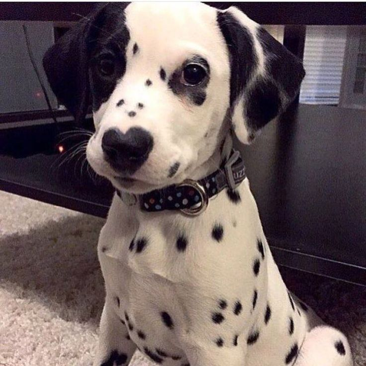 This gorgeous Dalmation has a heart on his nose! He reminds me of poor Jojo.