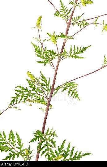 21 best Ragweed images on Pinterest Cannabis, Marijuana plants and