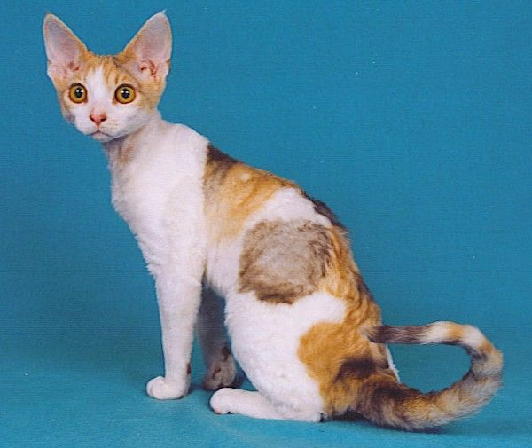 This is a hypoallergenic cat breed. They're called Devon Rex. This one is actually pretty cute