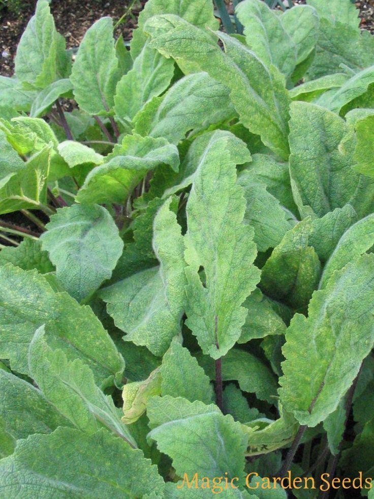 Muskatellersalbei (Salvia sclarea) mag durchlässige Böden und viel Sonne.